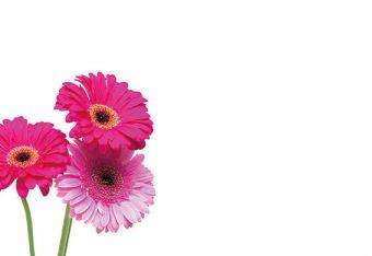 Three Mixed Pink Gerberas Classic Plain Card