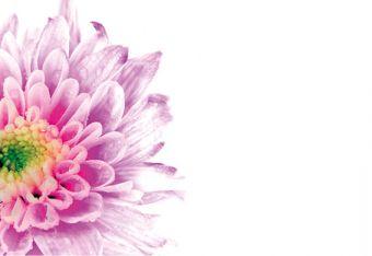 Lilac Chrysanthemum Classic Plain Card