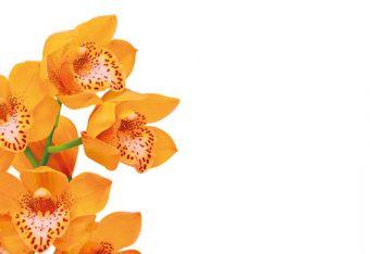 Peach Orchid Classic Plain Card