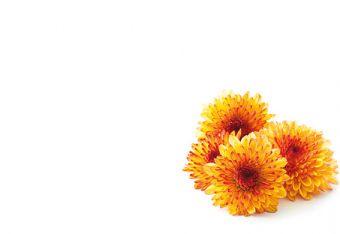 Two Tone Orange Chrysanthemum Classic Plain Card
