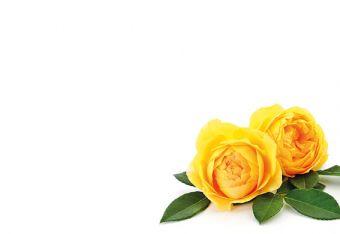 Open Yellow Roses Classic Plain Card