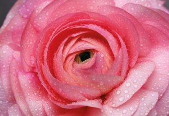 Pink Rose with Dew Drop Folded Plain Card