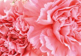 Pink Carnations Folded Plain Card
