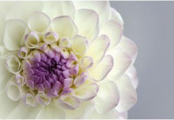 Ivory & Lilac Dahlia Folded Plain Card