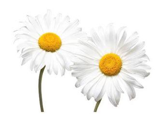 White Daisies Folded Plain Card