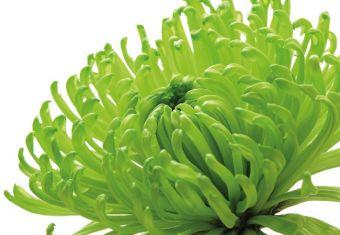 Green Chrysanthemum Folded Plain Card