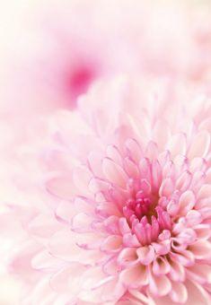 Two Tone Pink Chrysanthemum Folded Plain Card