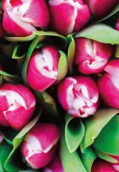 Two Tone Pink Tulip Folded Plain Card