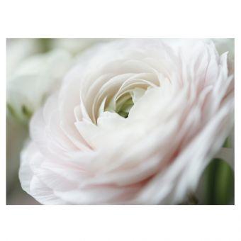 Single White Ranunculus Folded Card (Pack of 25)