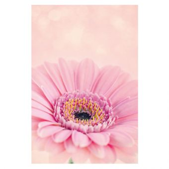 Pink Gerbera, Pink Background