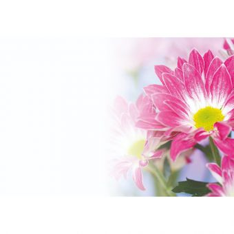 Chrysanthemum Pink (Pack of 50)