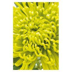 Green Spider Chrysanthemum - Folded (Pack of 25)