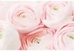 Pale Pink Ranunculus Folded Plain Card