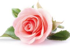 Single Pink Rose Folded Plain Card