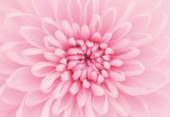 Pale Pink Chrysanthemum Folded Plain Card