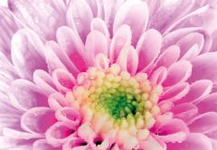 Lilac Chrysanthemum Folded Plain Card