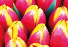 Two Tone Tulips Folded Plain Card
