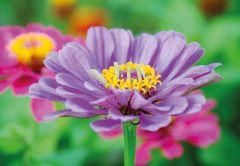 Lilac Flower Folded Plain Card