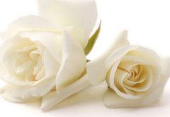 Two Ivory Roses Folded Plain Card