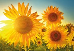 Sunflower Field Folded Plain Card