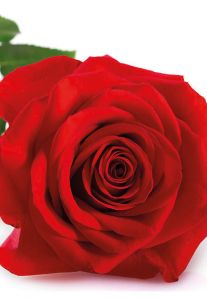 Luxurious Red Rose Folded Plain Card