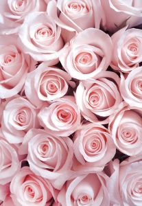 Pale Pink Roses Folded Plain Card