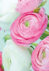 Pink & White Ranunculus Folded Plain Card