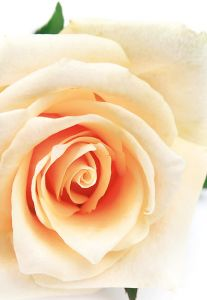 Cream Rose Folded Plain Card