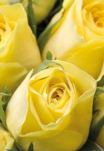 Lemon Roses Folded Plain Card