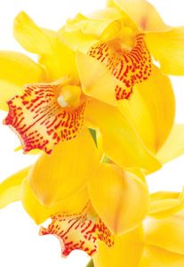 Yellow Orchid Folded Plain Card