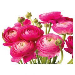 Bunch of Dark Pink Ranunculus